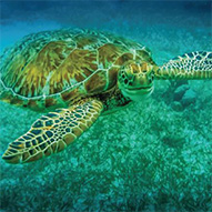 Picture of sea turtle underwater