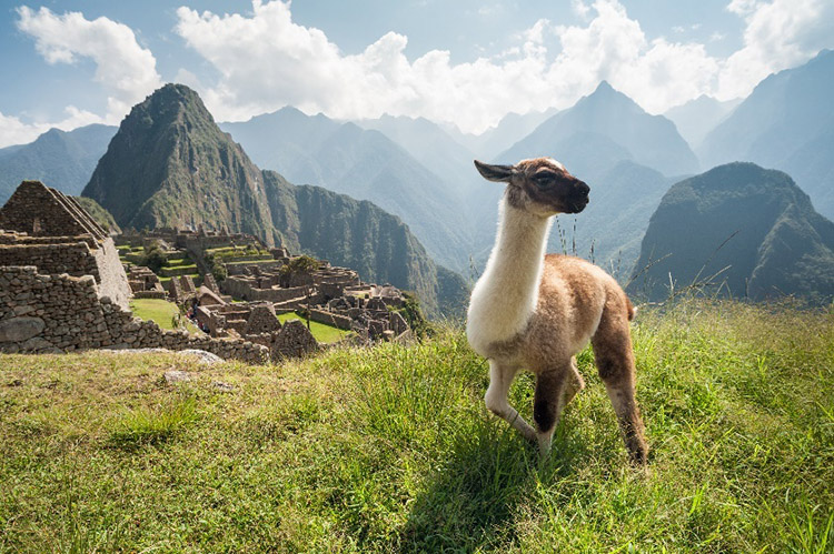 Picture of a llama with the ruins of machu picchu in background